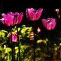 Tiptoe Through The Tulips by Bill Cannon