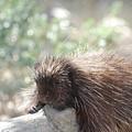 Tired Porcupine On A Fallen Log by DejaVu Designs