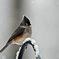 Titmouse In The Snow by Douglas Barnett