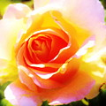 Tjs Rose A Glow by Daniel Thompson