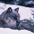 T.kitchin, 19552c Gray Wolf, Winter by First Light