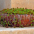 Tlaquepaque Potted Greens by Robert Meyers-Lussier