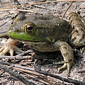 Toad 1 by J M Farris Photography