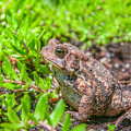 Toad In The Grass by Randy Steele