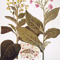 Tobacco Rustica, 1613 by Granger