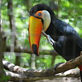 Toco Toucan by Brad Kennedy