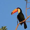 Toco Toucan by Bruce J Robinson