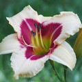 Todd Monroe - Daylily by MTBobbins Photography