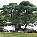 Tokyo Tree by Carol Groenen
