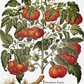 Tomato, 1613 by Granger