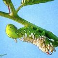 Tomato Hornworm by Warrena J Barnerd