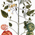 Tomato Plant, 1735 by Granger