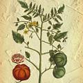 Tomato Plant Vintage Botanical by Karla Beatty