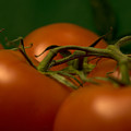 Tomatoes by Jessica Wakefield