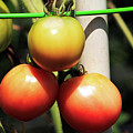 Tomatoes Ripening On The Vine by Selena Wagner