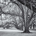 Tomotley Plantation Oaks by Cindy Archbell
