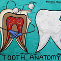 Tooth Anatomy by Anthony Falbo