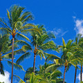 Tops Of Palms by Bill Brennan - Printscapes