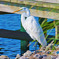 Topsail Egret by Betsy Knapp