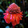 Torch Ginger Flower by Miles Whittingham