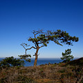 Torrey Pines Tree by PJ  Cloud
