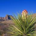 Torrey Yucca by Buddy Mays