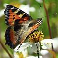 Tortoise Butterfly by Andrea Otte