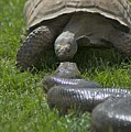 Tortoise Kissing An Anaconda by Susan Heller
