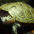 Turtle With A Tale To Tell by Arlane Crump