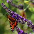 Tortoiseshell Butterfly On Lavender by Nigel Dudson