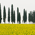 Toscana Cypresses by Igor Voljch