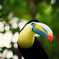 Toucan by Bert Mailer