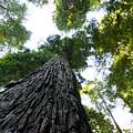 Towering California Redwood Trees by John Trax