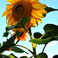 Towering Sunflower by Kathleen Sartoris