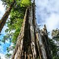 Towering Trees by Julie Craig