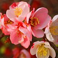 Toyo-nishiki Quince Blooms by Kathryn Meyer