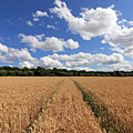 Tracks Through Wheat Field by Julia Gavin