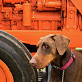 Tractor Dog by Rick Piper Photography
