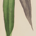 Tradescantia Odoratissima by English School