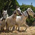 Traditional Spanish Threshing by Peter Hayward Photographer