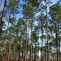 Trail Through The Pine Forest by Barbara Bowen