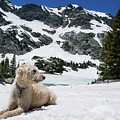 Traildog In Snow At Missouri Lakes by Cary Leppert
