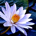 Tranquil Lily by Lisa Renee Ludlum