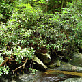 Tranquil Mountain Laurel Stream In The Great Smoky Mountains National Park by Maili Page