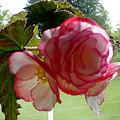 Translucent Begonia by Liz Evensen