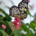 Translucent Butterfly by Marty Koch