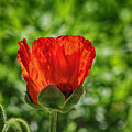 Translucent Poppy by Larry Pegram
