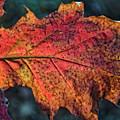 Translucent Red Oak Leaf Study by Leon Winkowski