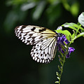 Translucent Wings On A Rice Paper Butterfly by DejaVu Designs