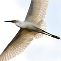 Transluscent Egret In Flight . 40d4992 by Wingsdomain Art and Photography